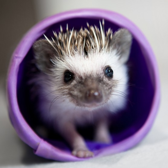 hedgehogcute